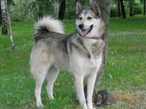 сибирское лайки фото и цена щенка