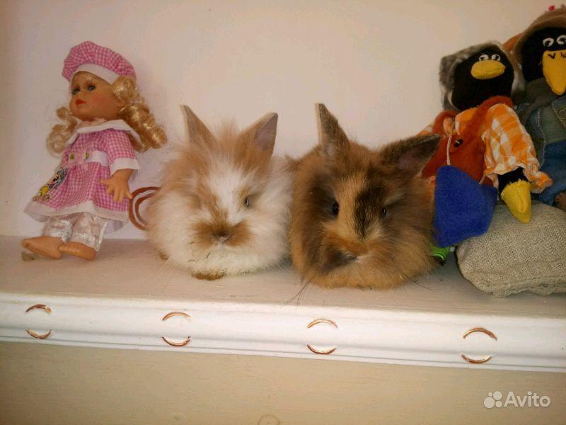 Декоративные кролики в Шебекино - фотография № 3