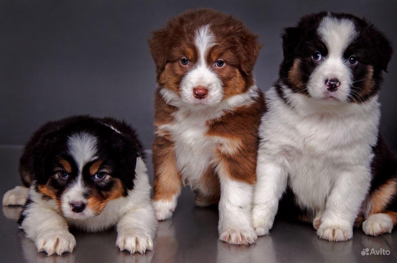 Высокопородные щенки Австралийской овчарки