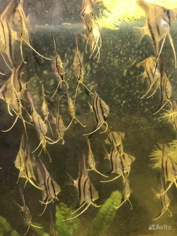 Аквариумные Рыбки -скалярия, Вид Рио-Нанай -Перуан купить на Зозу.ру - фотография № 7