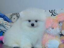 Померанский шпиц, нежный, белый малыш Джокер — Собаки в Санкт-Петербурге