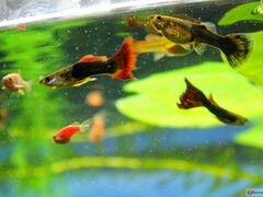 Рыбки гуппи, растения для аквариума