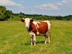 Продается корова
