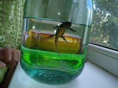 Тритон аквариумный