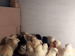 Цыплятки домашние