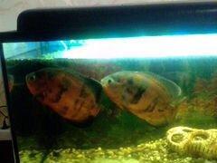 Рыба Астронотус-Оскар медный