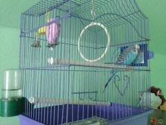 Волнистый попугай. + клетка