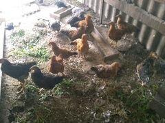 Цыплята разных возрастов
