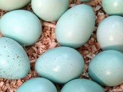 Инкубационное яйцо Селадон
