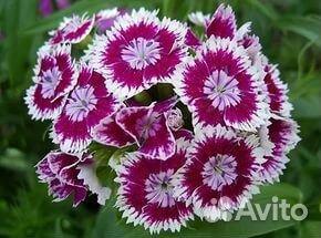 Гвоздика китайская - gardenia.ru