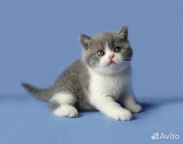 котята британские голубой на белом фото