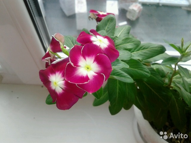 Авито набережные челны комнатные цветы