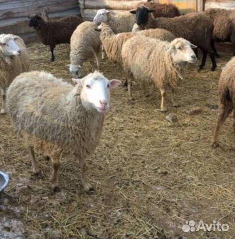 отношении купить овец в ростовской области лица: Мальвина