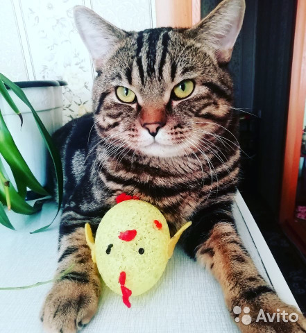 Кот ищет кошечку 89836055840 купить 1
