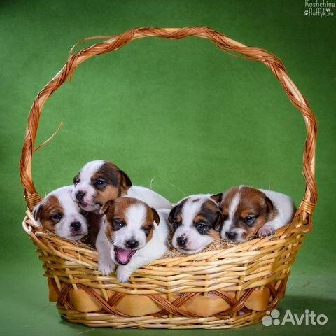 Джек Рассел терьера щенки купить на Зозу.ру - фотография № 1