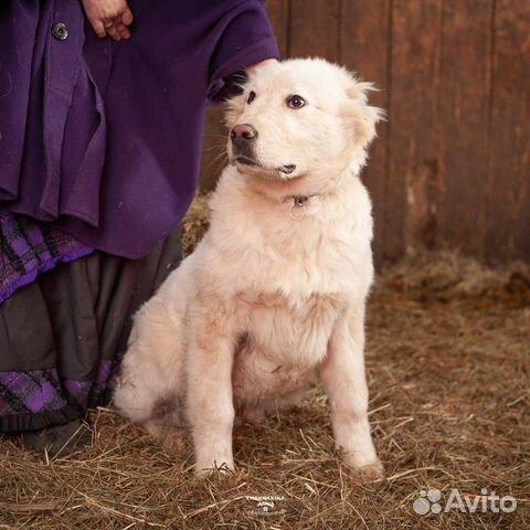 Щенок среднеазиатской овчарки, алабая, мальчик купить на Зозу.ру - фотография № 1