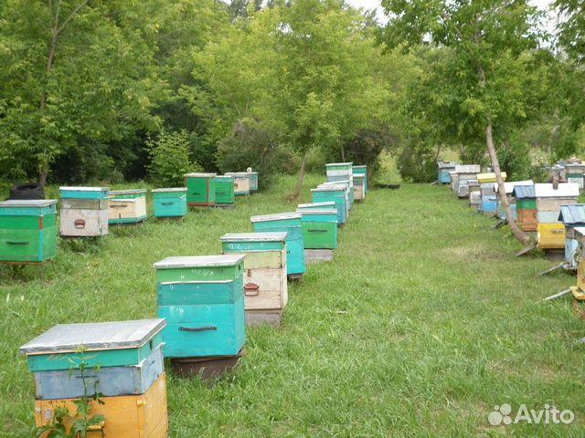 89203756586 Пчелосемьи, пчелопакеты, пчелы