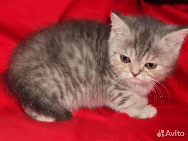Котята британские девочки 89040755425 купить 3