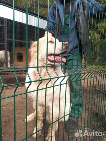 Горшая пиренейская собака в добрые руки, близкий м купить 5