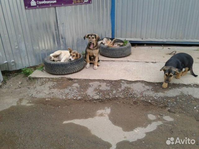 Собаки в надежные ответственные руки  89178080969 купить 1