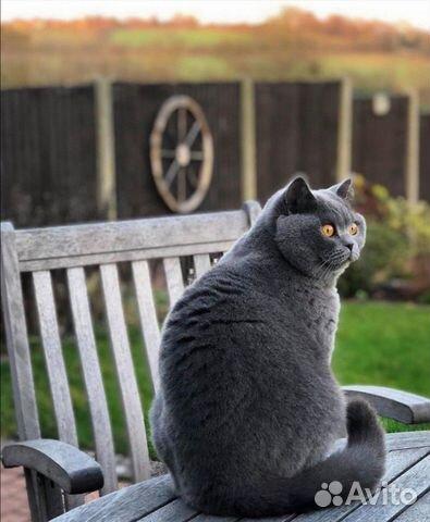 Британские котята  89025669533 купить 4
