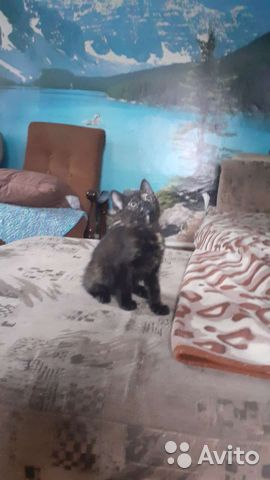 Кошка 2 месяца  89098565955 купить 1