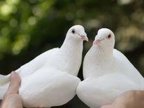 Белые голуби на свадьбу, любое торжество