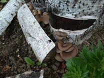 Пеньки с грибами. Вешенки