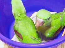 Попугаи александрийские птенцы выкормыши — Птицы в Москве