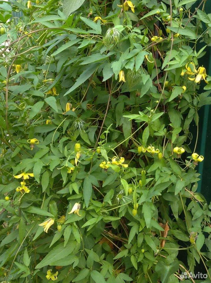 Клематис Тангутский мелкоцветковый желтый  89805546420 купить 2