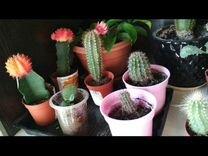 Много кактусов — Растения в Саратове