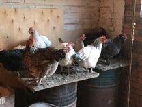 Продаются куры цыплята