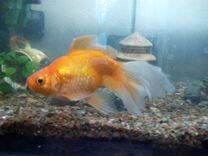Золотая рыбка, цихлиды Малавии и другое