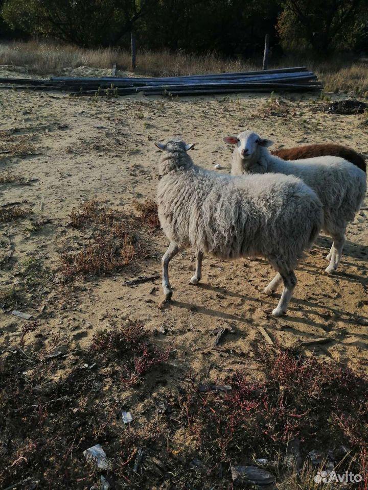 Овца  89537032673 купить 3