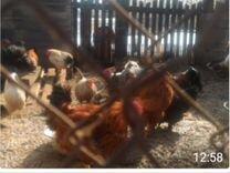 Цыплята и петухи