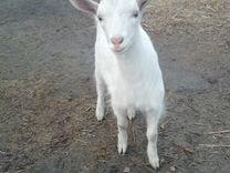 Заанинские козлята