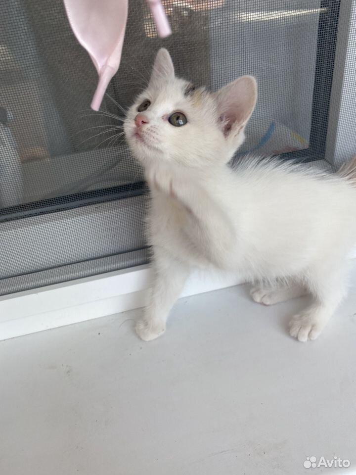 Кошка  89097520990 купить 3