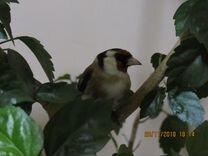 Птицы лесные певчие щегол,чиж,репел,зеленушка,клес
