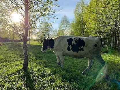 Черно пестрая корова